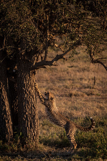 Cheetah Climbing On Tree