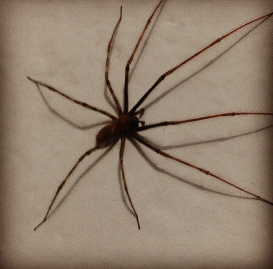 Just a little spider! 😍 Spider Spiders Araña Aranagrande Araña. Ragno Ragno Arte