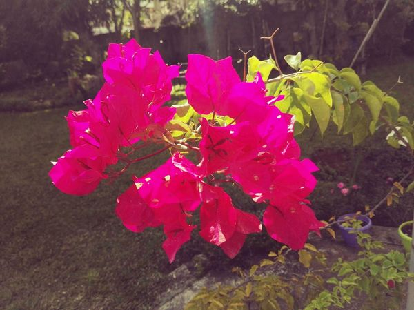 Taken with Huawei Mate S . Colour Of Life Bougainvillea Pink Green Sunshine