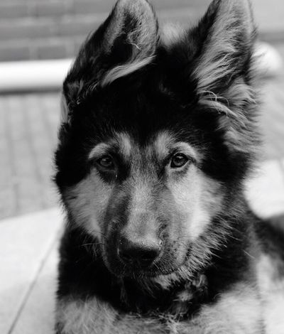Dog Pets Domestic Animals Animal Themes One Animal Mammal Looking At Camera Portrait Close-up No People Day Blackandwhite