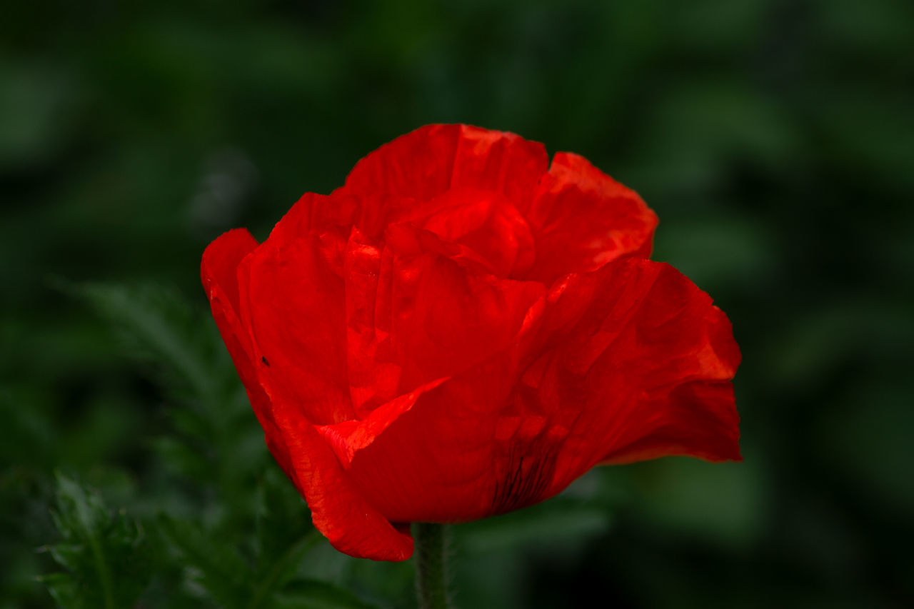 CLOSE-UP OF RED ROSE AGAINST WHITE WALL