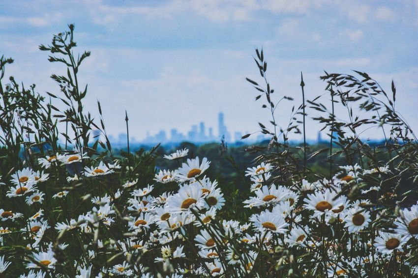 NYC (20 miles away) Flower Plant Nature Uncultivated Growth Wildflower Beauty In Nature Day Outdoors Sky Flowerbed No People Tree Landscape Springtime Rural Scene Fragility Flower Head Freshness The Great Outdoors - 2017 EyeEm Awards Nature City NYC Skyline Long Island Lost In The Landscape Perspectives On Nature