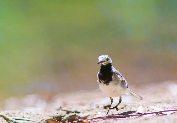 Close-Up Of White Wagtail On Field