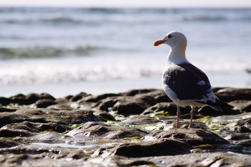 Close-up of seagull perching on rock by sea against sky