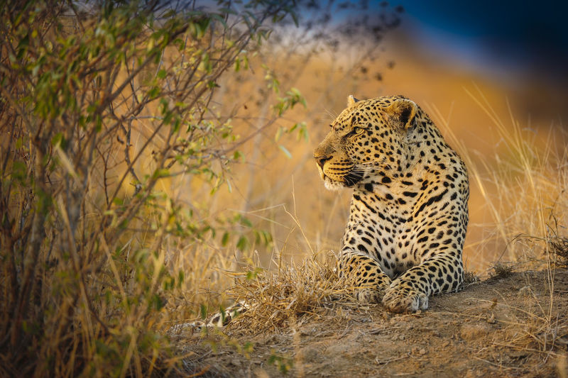 Leopard Relaxing On Field
