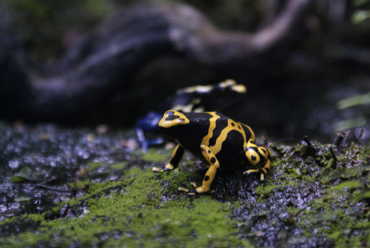 Animal Themes Animals In The Wild Close-up Dartfrog Dendrobate Focus On Foreground No People Wildlife Zoology