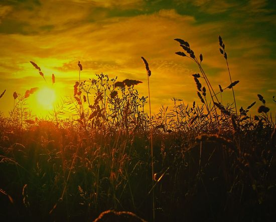 Fields Of Gold Taking Photos Beauty In Nature Outdoors Beautiful Nature Dawn Of A New Day Nature On Your Doorstep Rural Landscape Naturelovers Sunrises Sunrise_sunsets_aroundworld Sunrisephotography Focus On Foreground Grasses Grasslands Morning Sun Morninglight