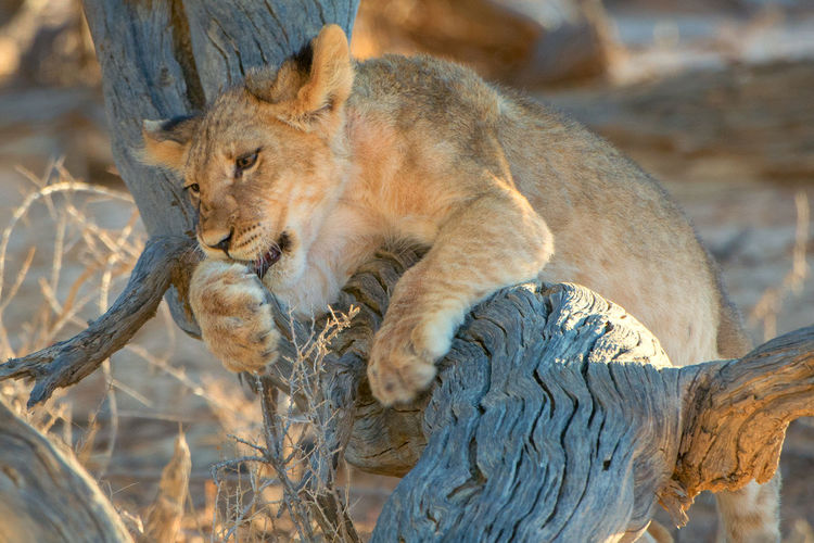 EyeEm Nature Lover Wildlife Photography Animal Themes Animals In The Wild Close-up Day Focus On Foreground Kalahari Lion Kgalagadi Transfrontier Park Lion - Feline Lioness Mammal No People One Animal Outdoors