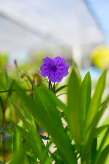 Flower Petal Freshness Plant Flower Head Nature Growth Fragility Beauty In Nature Purple Green Color No People Day Outdoors Close-up Leaf Blooming Beauty In Nature Beauty In Nature Nature Nature Green Color Trees And Nature