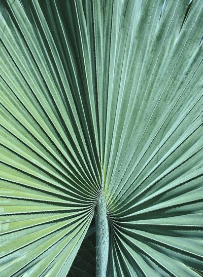Palm Leaf Fanned Out Pattern Green Color Close-up Nature Beauty In Nature Frond Leaf