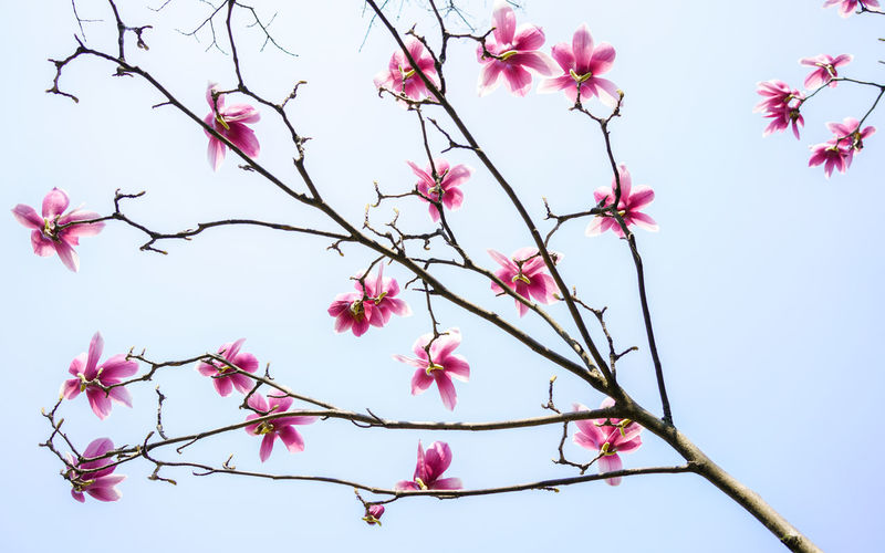 Beauty In Nature Blooming Blossom Branch Clear Sky Close-up Day Flower Flower Head Fragility Freshness Growth Low Angle View Nature No People Outdoors Pink Color Plum Blossom Sky Springtime Tree