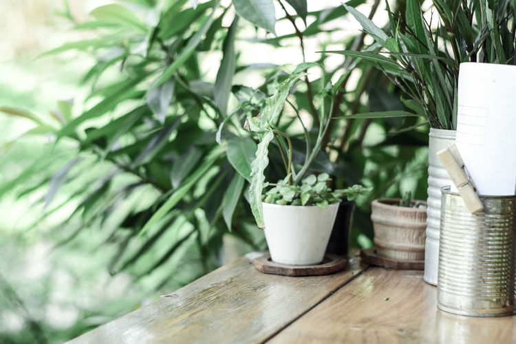Beauty In Nature Close-up Container Day Flower Pot Focus On Foreground Freshness Green Color Growth Houseplant Leaf Nature No People Outdoors Plant Plant Part Potted Plant Selective Focus Small Still Life Table Tree Wood - Material
