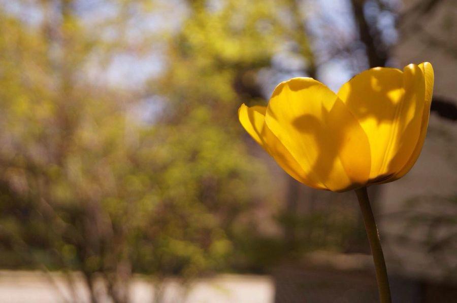 Lone flower Tulip Flower First Eyeem Photo