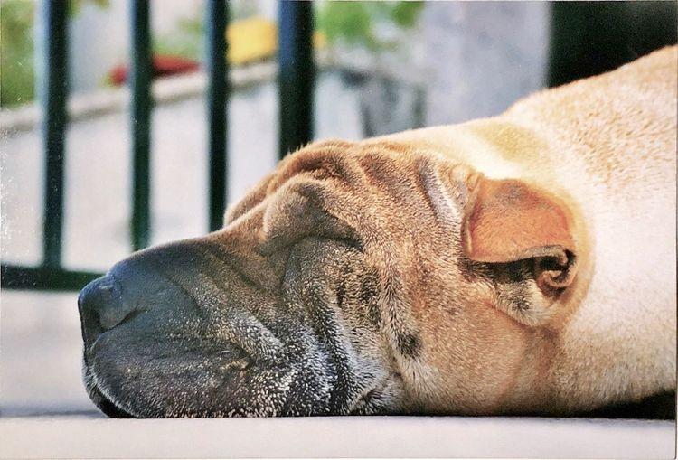 Rona durmiendo Shar-pei Mammal Resting Pets Domestic Animals Animal Head