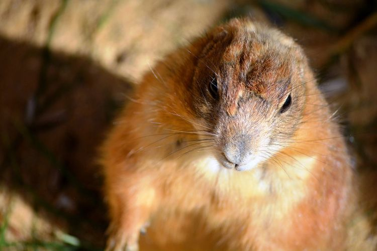 A cute and brown rodent standing