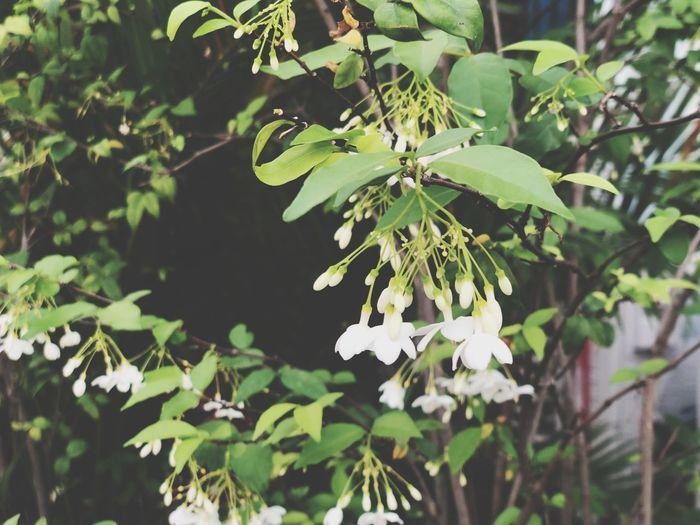 Water Jasmine,