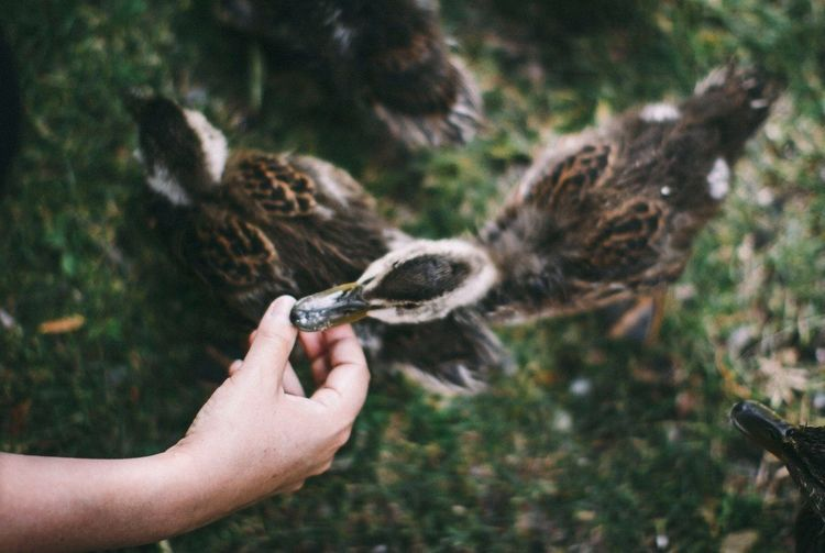 Cropped Hand Feeding Ducklings