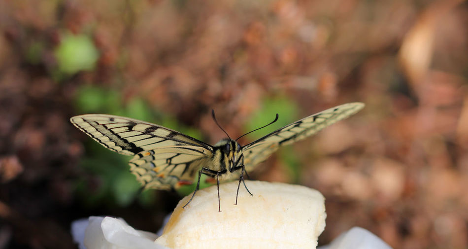 Swallowtail Swallowtail Butterfly Invertebrate Insect Animal Themes Animal Animal Wildlife Animals In The Wild One Animal Animal Wing Close-up Focus On Foreground Beauty In Nature Nature Butterfly - Insect Day No People Plant Outdoors Zoology Selective Focus Flower Butterfly