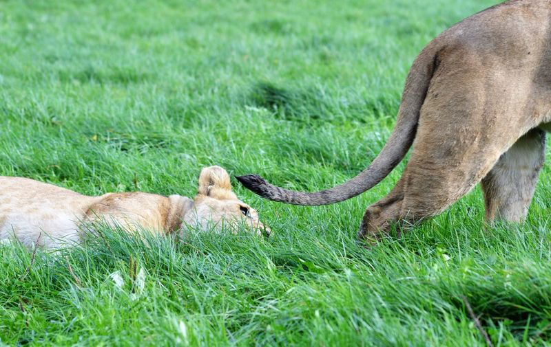 Lions on a grassy plain African Lion Panthera Leo Relaxing Africa Animal Portrait Barbary Cat Feline Furry Lioness Predator Relaxed Simba Teeth Whisker Wildcat