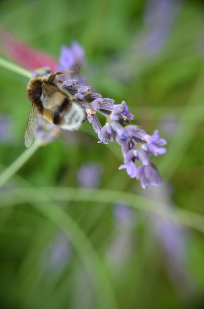 Animal Themes Animals In The Wild Beauty In Nature Bee Bumblebee Buzzing Lavenderflower Close-up Day Flower Flower Head Fragility Freshness Growth Insect Lavender Nature No People One Animal Outdoors Plant Pollination Purple EyeEmNewHere