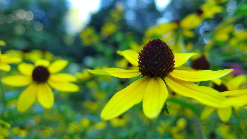 Happy Tuesday everyone and enjoy your day. Flower Fragility Petal 1.8 Focus On Subject Depth Of Field Blurred Background Natural Bokeh Nature Beauty In Nature Black Eyed SusansGrowth Outdoors Yellow Photography