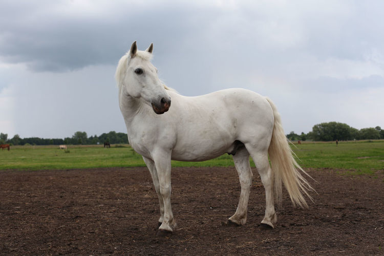 White horse standing on field against cloudy sky