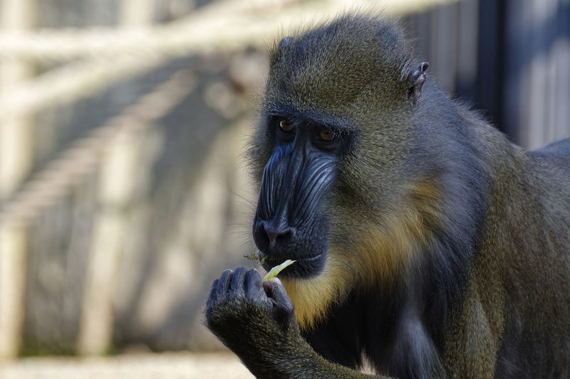 Clutching At A Straw Animal Themes Animal Wildlife Animals In The Wild Baboon Close-up Day Eating Focus On Foreground Food Mammal Monkey Nature No People One Animal Outdoors Primate