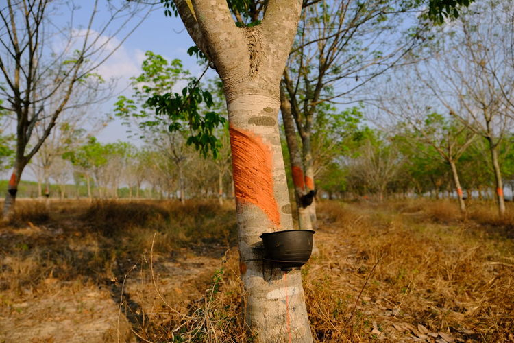 Rubber Trees In Thailand Rubber Tree Rubber Trees Rubber Plantation Rubber Plant Rubber Tree Plantation Plant Tree Trunk Tree Trunk Nature No People Day Land Outdoors Focus On Foreground Field Environment Growth Grass Sky Scenics - Nature Branch Landscape Wood - Material Forest Beauty In Nature Tree Trunk