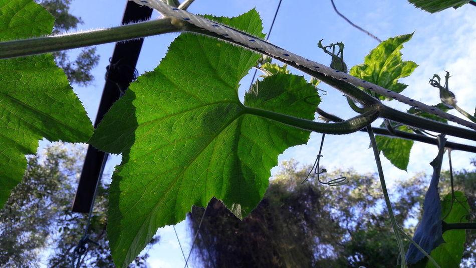 Nature Pumpkin Leaves