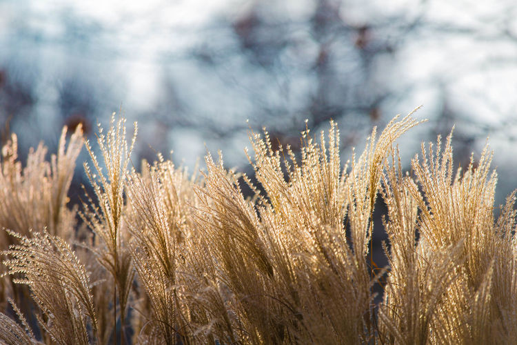 Gräser mit Bokeh Copy Space Grass Schilf Winter Beauty In Nature Close-up Day Field Nature No People Nobody Outdoors Plant Tranquility