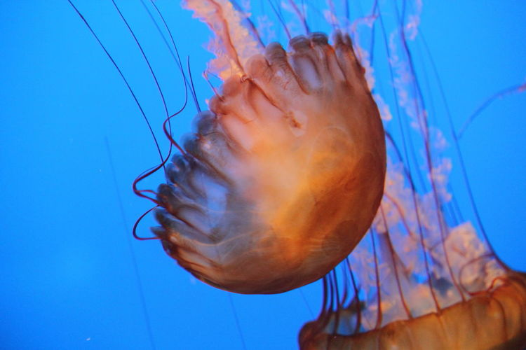 Jellyfish Animals Blue Close Up Close-up Colorful Jelly Marine Life Marine Photography Nikonphotography Patterns Pink Underwater Photography