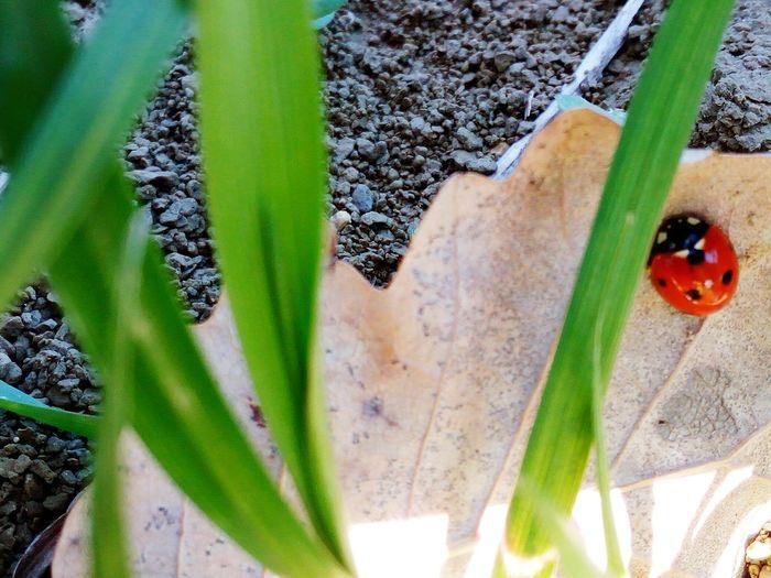 Green Color Plant Nature No People Animal Themes Beauty In Nature Close-up Coccinelle Coccinella Rosso Nature Photography Fotografia Passione_fotografica Light Erba Fortuna Coccicocci Growth Day Outdoors