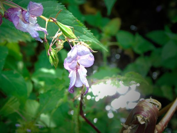 Himalayan balsam Beauty In Nature Close-up Day Flower Flower Head Flowering Plant Fragility Freshness Green Color Growth Himalayan Balsam Impatiens Inflorescence Leaf Nature No People Outdoors Petal Plant Plant Part Purple Selective Focus Springkraut Vulnerability