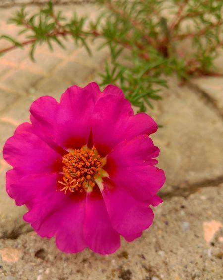 Flower Summer ☀ Flower Pink Bloom Backyard Varna Bulgaria Colour Of Life