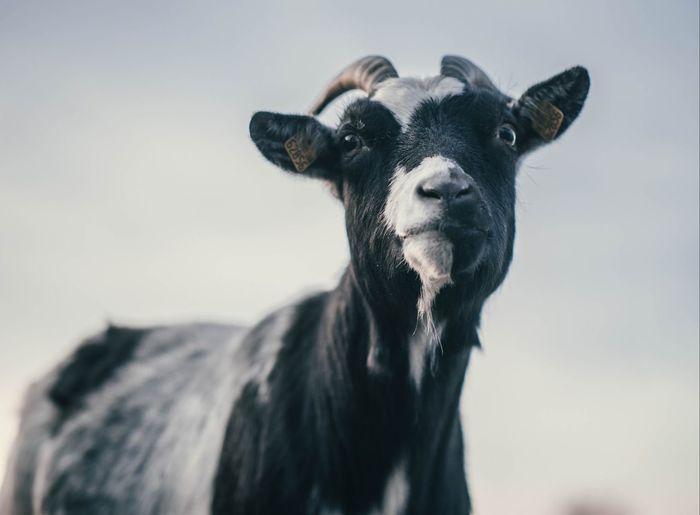 Goat Mammal