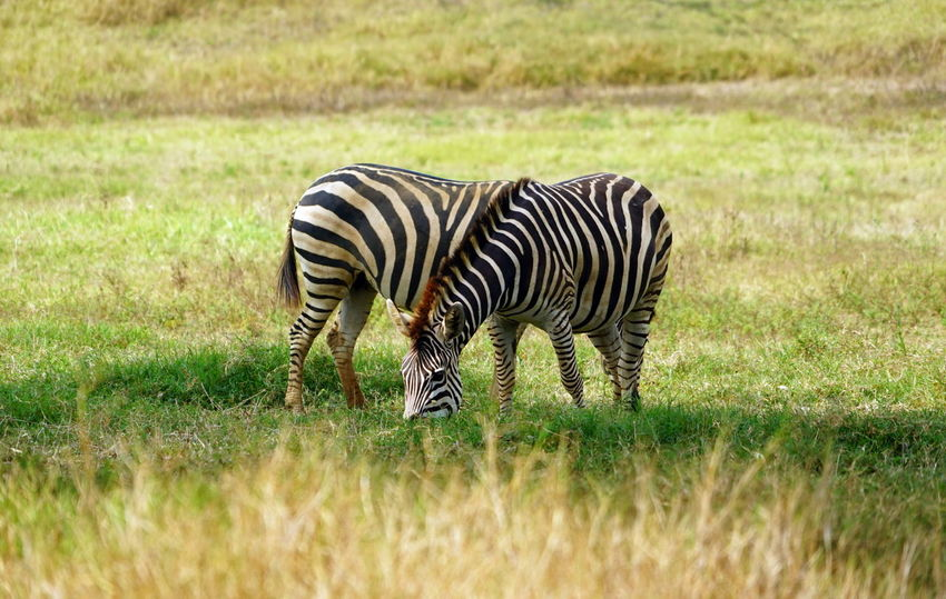 Overlay Animal Themes Animal Wildlife Animals In The Wild Blend Field Grass Land Mammal Nature No People Outdoors Overlapping Safari Striped Stripes Pattern Two Become One Zebra