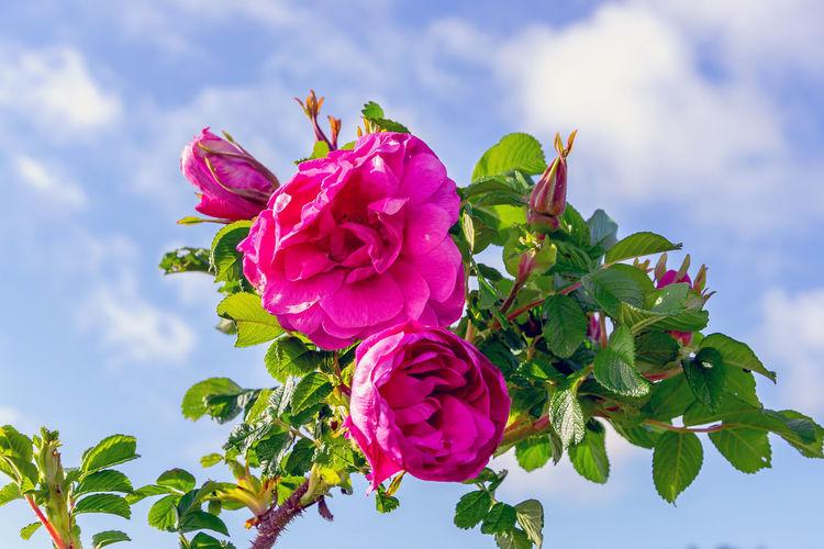 rosehip plants