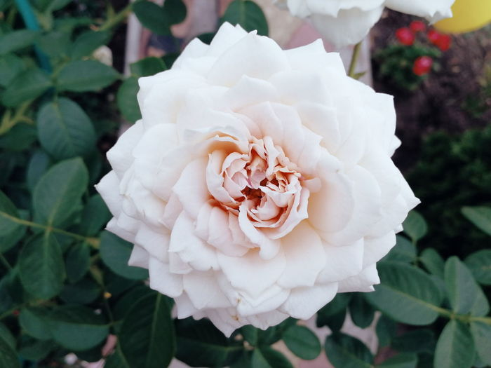 Прекрасним летним утром Flower Peony  Rose - Flower Petal Leaf Close-up Plant Wild Rose Rose Hip Botany Single Rose Plant Life Pale Pink Focus First Eyeem Photo