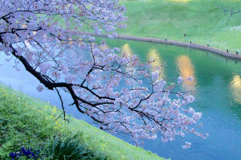 Cherry Blossoms 桜 Sakura お花見 Chidorigafuchi 千鳥ヶ淵 EyeEm Nature Lover