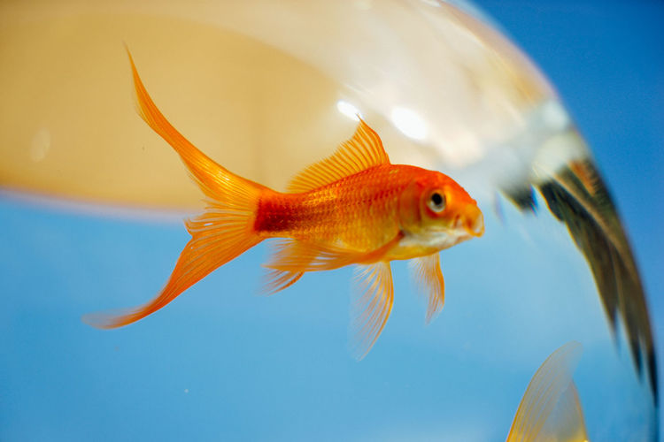 Close-up of goldfish swimming in glass bowl