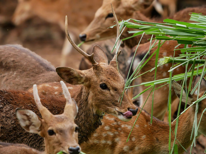 Spotted Domestic Animals EyeEm Best Shots Safari Animals Eland Antilope Axis Deer Zoo Animals  Eating Oryx Antelope Oryx Gazella Antilope Gazelle Oryx Cute Zoo Animals  Deer Moments Animal Animal Themes Spotted Deer Deers Beauty In Nature Nature_collection