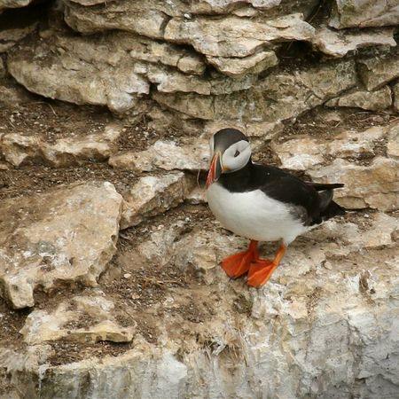 Gorgeous little puffin at RSPB Bempton Cliffs Nature_collection EyeEm Nature Lover East Yorkshire