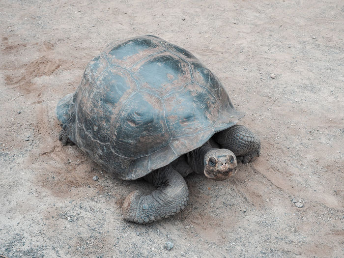 Giant tortoise on the Galapagos Animal Animal Shell Animal Themes Animal Wildlife Animals In The Wild Day High Angle View Land Marine Nature No People One Animal Outdoors Reptile Sand Shell Tortoise Tortoise Shell Turtle Vertebrate