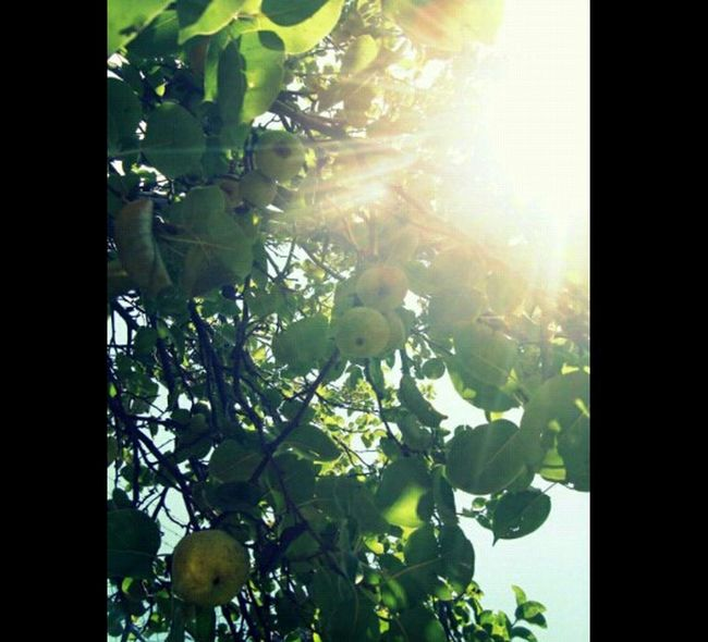 Tree Fruit Sunshine Light Blinkblink Green Taking Photos Enjoying Life EyeEm Nature Lover Nature_collection
