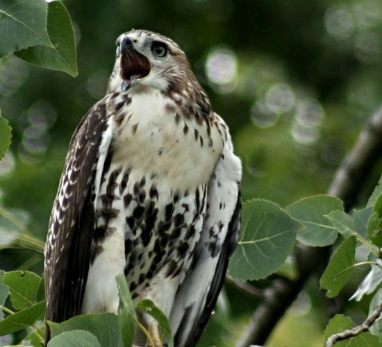 Red-tailed Hawk Hawk Birds Screaming