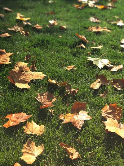 Autumn Grass Nature Leaf Beauty In Nature Outdoors Maple Leaf Check This Out