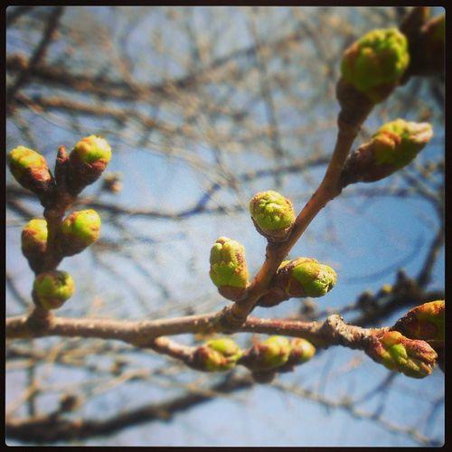 こちらの桜はあとちょっと。枝が重そう ✿