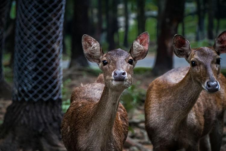 Portrait of deer.