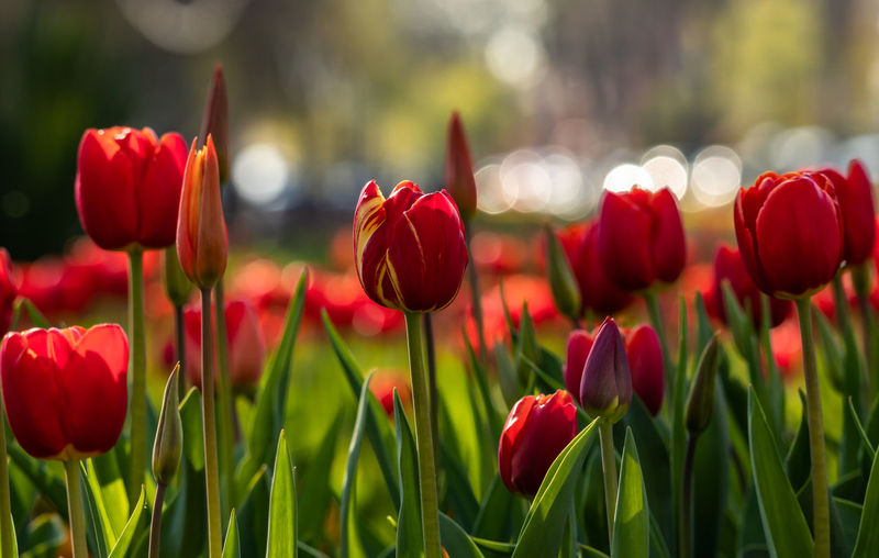 Springtime Bokeh! Flower Plant Flowering Plant Beauty In Nature Vulnerability  Fragility Red Freshness Tulip Growth Petal Close-up Flower Head Field Nature Inflorescence Focus On Foreground No People Land Plant Stem Springtime Flowerbed