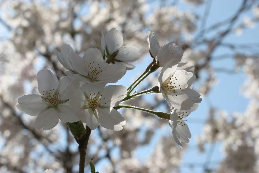 Branch Beauty In Nature Beginning Bloom Blooming Blossom Earliest Easter Flora Flower Flowering Freshness Fruit Garden Growth Nature Petal Purity Seasons Serenity Softness Spring Springtime Tree White Color